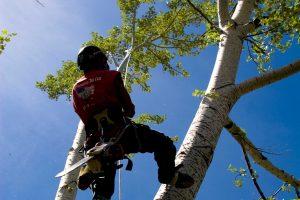 Denver Tree Service Climber