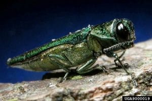 ash borer denver invasive species