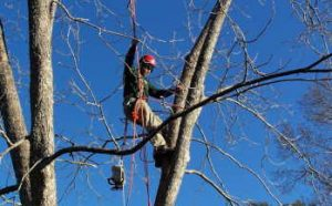 Tree Trimming and Pruning in Denver Co